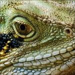 Eastern Water Dragon Queensland, Australia