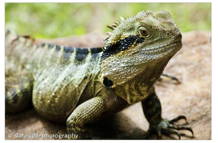 Byron Bay Eastern Water Dragon Queensland, Australia,