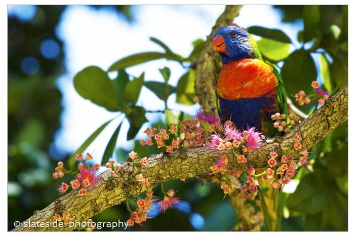 rainbow lorikeet flowering tree australia asia