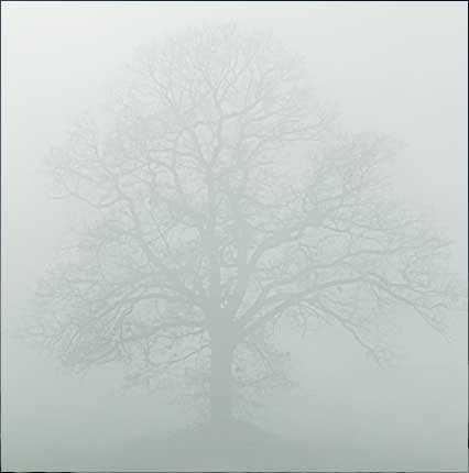 Misty Winter Oak Tree