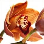 Fiery Flowers Orange Orchids